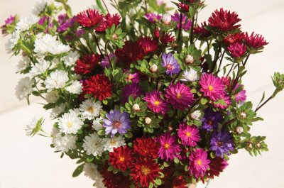 Serenade Mix - China Aster Seed