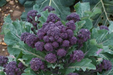 Red Fire - Purple Sprouting Broccoli Seeds