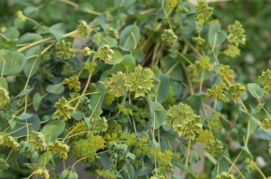 Green Gold - Bupleurum Seed