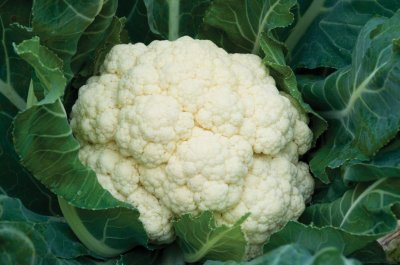 Amazing - Cauliflower Seed
