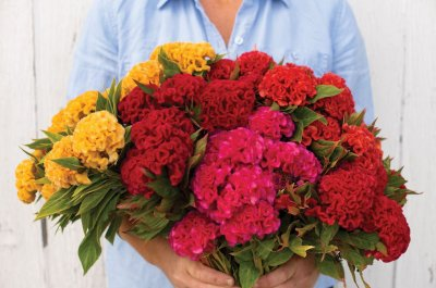 Chief Mix - Celosia Seed