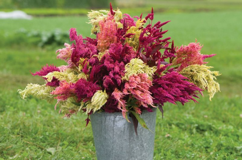 Pampas Plume - Celosia Seed