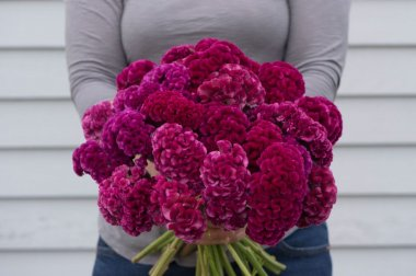 Cramer's Rose - Celosia Seed