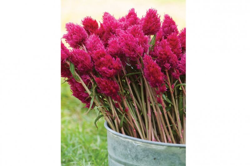Eternity Improved - Celosia Seed