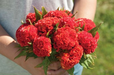 Chief Persimmon - Celosia Seed