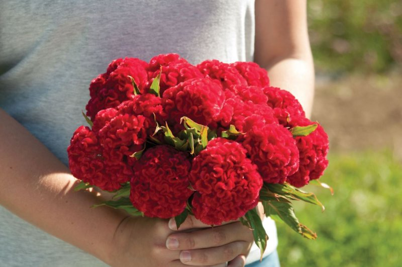 Chief Fire - Celosia Seed