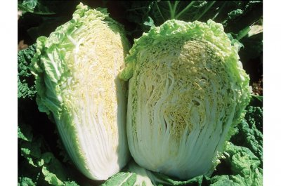 Minuet - (F1) Chinese Cabbage Seed