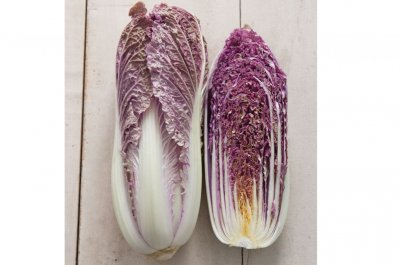 Red Dragon - (F1) Chinese Cabbage Seed