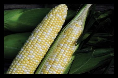 Essence - Treated (F1) Corn Seed
