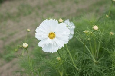 Fizzy White - Cosmos Seed