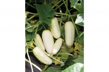 Salt and Pepper - Organic Cucumber Seed