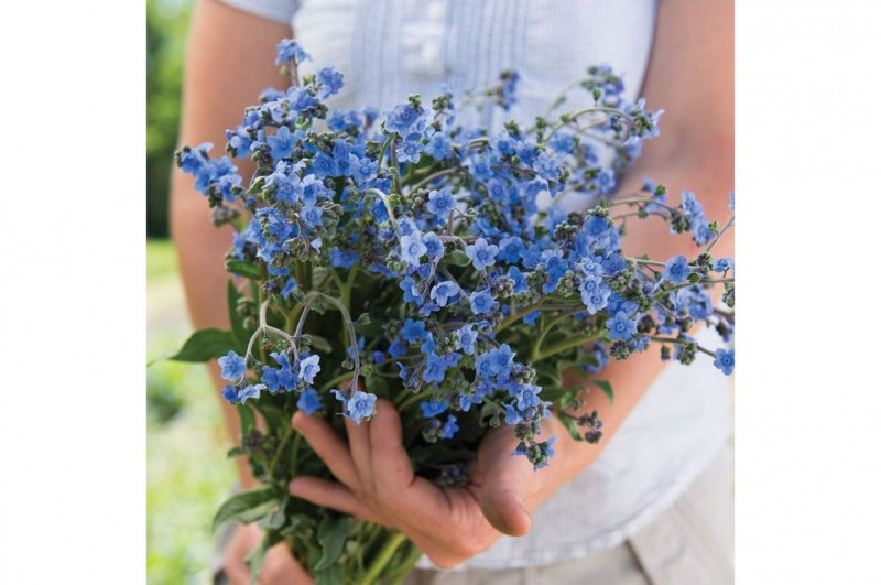 Chinese Forget-Me-Not - Cynoglossum Seed