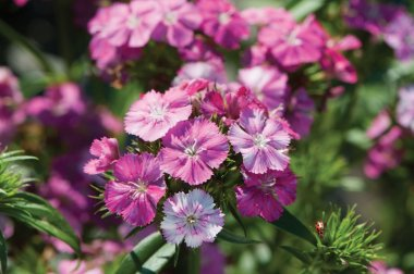 Amazon Neon Rose Magic Pelleted Dianthus