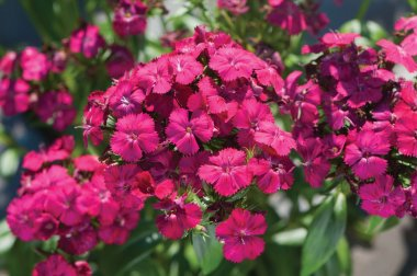 Amazon Neon Cherry Pelleted Dianthus Seed