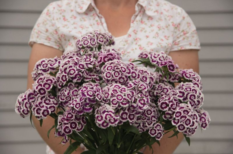 Sweet Purple/White Pelleted Dianthus