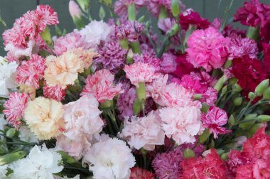 Chabaud Picotee Double Mix - Dianthus Seed