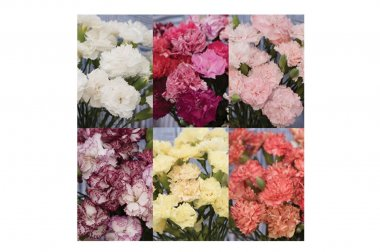 Chabaud Carnation Set - Dianthus Seeds