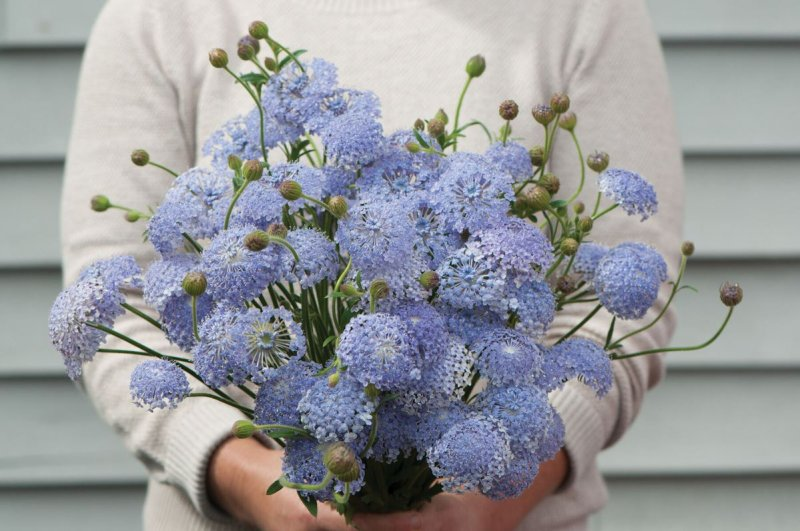 Lacy Lavender Blue - Didiscus Seed