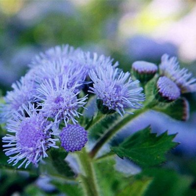 Ageratum Seeds Annual Blue Purple Beautify Flowers Plants Seeds