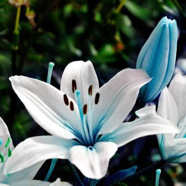 Blue Heart Lily Seeds Lily Flower Seeds For Home Garden