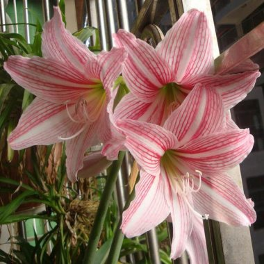 Rainbow Lily Seeds Potted Bonsai Plant Lily Flower Seeds