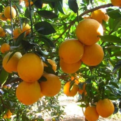 3-4 ft. - Navel Orange Tree - Delicious Navel Oranges - Tasty an