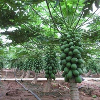 Broadleaf Papaya Plant LIVE FRUIT Tree self fertile Rare tropica