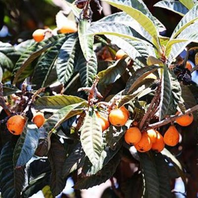 Christmas Loquat Live Tropical Fruit Tree
