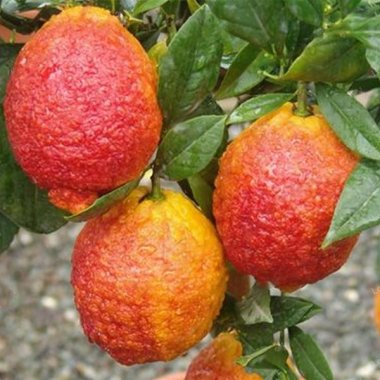 Red Color Lemon Seeds Organic Fruit Seed Home Garden Plants
