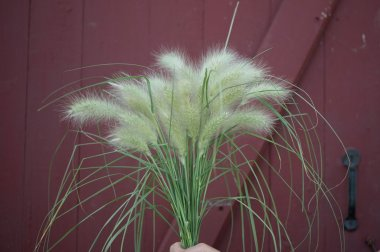 Feathertop - Ornamental Grass Seed