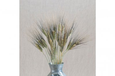 Black Tip Wheat - Ornamental Grass Seed