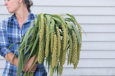 Lime Light Spray Millet - Ornamental Grass