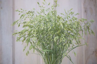 Bromus Grass - Ornamental Grass Seed