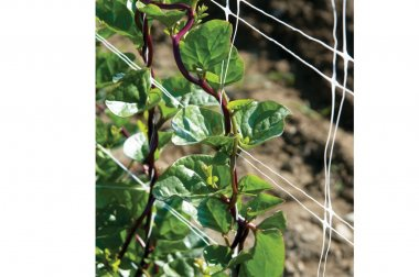 Red Malabar Spinach - Specialty Green Seed