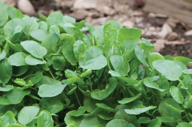 Upland Cress - Green Seed