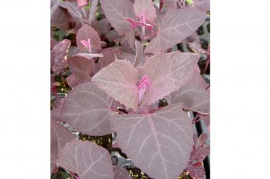 Scarlet Orach - Specialty Green Seed