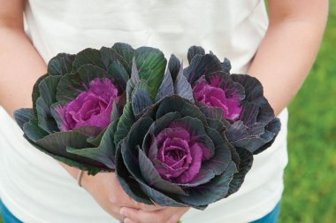 Crane Red - (F1) Ornamental Kale Seed