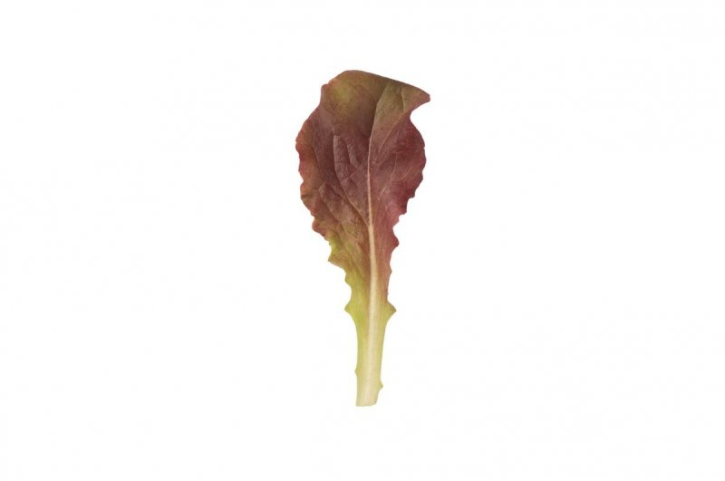 Outredgeous - Organic Lettuce Seed