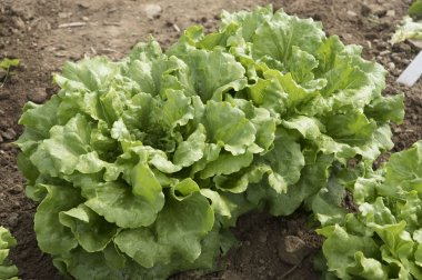Concept - Organic Lettuce Seed