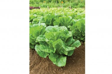 Salvius - Pelleted Lettuce Seed