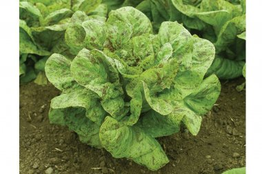 Flashy Trout Back - Organic Lettuce Seed