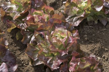 Red Cross - Organic Lettuce Seed
