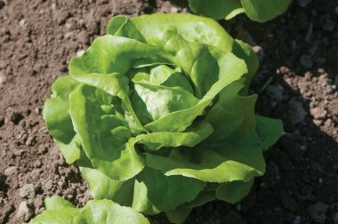 Rex - Pelleted Lettuce Seed