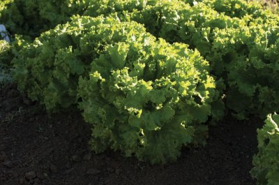 Bergam's Green - Organic Pelleted Lettuce