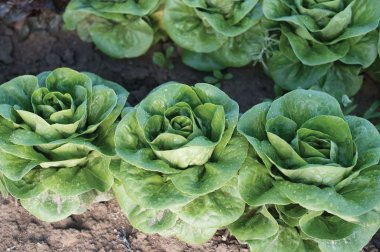 Newham - Organic Lettuce Seed
