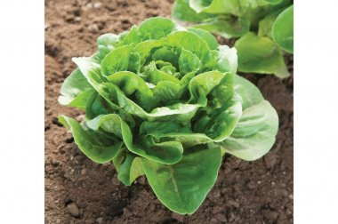 Dragoon - Organic Pelleted Lettuce Seed