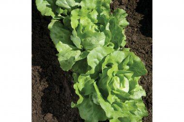 Nancy - Organic Pelleted Lettuce Seed