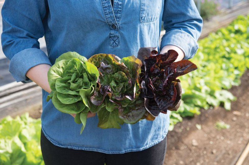 Little Gem-Type Trio - Bibb Lettuce Varieties