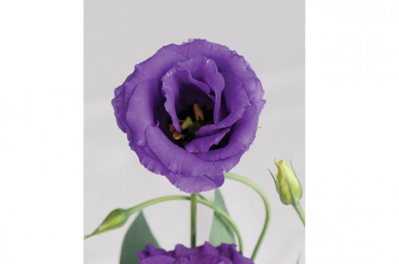 Echo Blue - Pelleted (F1) Lisianthus Seed