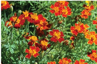Red Gem - Marigold Seed